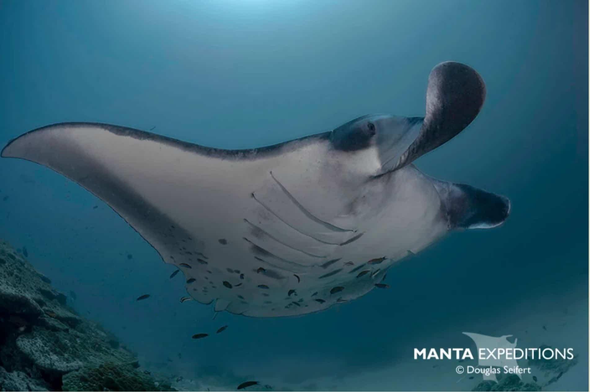 Die majestätischen Manta-Rochen werden immer seltener. Umso wichtiger die Arbeit der Manta Trust Organisation